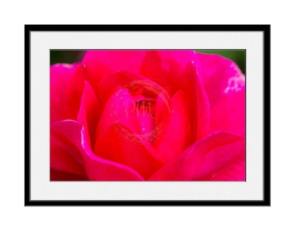 paul-mahoney-pink02
